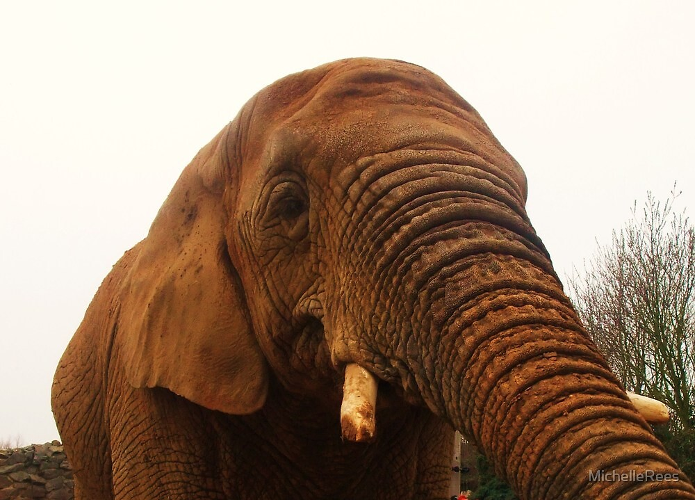 Hungry Elephant - feeding time at Colchester Zoo by MichelleRees