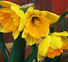 Trio of Daffs by MichelleRees
