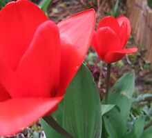 BlushingTulips  by MichelleRees