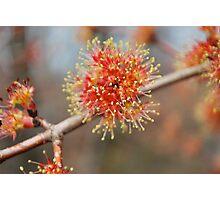 Spring Fireworks II  (Maple Tree) Photographic Print