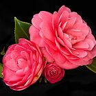 Camellia Study by Leslie Nicole
