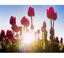 Pink Tulips at Sunset Photographic Print
