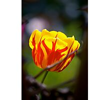 flamboyant tulip... Photographic Print