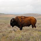 Iconic Image - American Bison by Stephen Beattie
