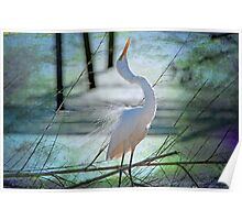 Avery Island Egrets--The Courtship Dance  Poster