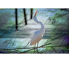 Avery Island Egrets--The Courtship Dance  Photographic Print