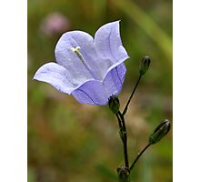 Harebell Photographic Print
