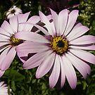Double Daisy by shane22