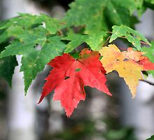 Fall Leaves 1 by hkusp40