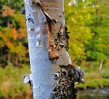 Birch Bark by Kathleen   Sartoris