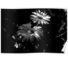 Dasies in B&W Poster