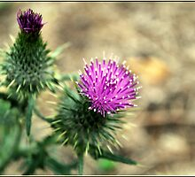 purple thistle. by meeow