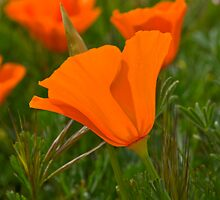Antelope Valley California Poppy by LudaNayvelt