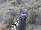 Mountain Bluebird Male by BettyEDuncan