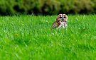 Tawny owl in grass by buttonpresser