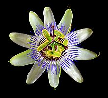 Passionfruit Flower by margotk