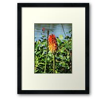Red Hot Poker (5719) Framed Print
