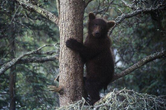 Alaskan Brown Bear Cub in Tree by Wayne Hughes