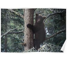 Alaskan Brown Bear Cub in Tree Poster