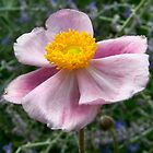 Fall Anemone by jennybarnes