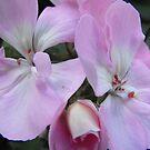 Soft Pink Geranium by Tracy Wazny