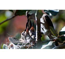 Update Hummingbird Babes  Photographic Print