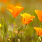 Poppy profusion by bettywiley