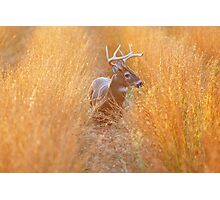 White-Tailed Buck at Sunset Photographic Print