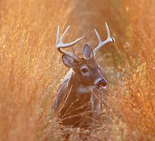 White-Tailed Buck Feeding at Sunset by Wayne Hughes