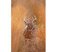 White-Tailed Buck Feeding at Sunset Photographic Print