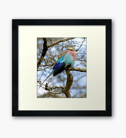 Lilac Breasted Roller On A Chilly Morning Framed Print