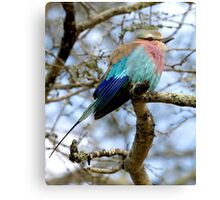 Lilac Breasted Roller On A Chilly Morning Canvas Print