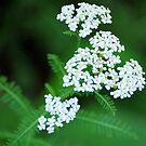 Yarrow by Tracey Hampton