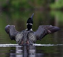 Shake it off - Common loon by Jim Cumming