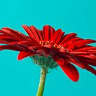 Red Gerbera by Julie McBrien