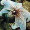 (Sea Life Category) - Order - Octopoda - Octopus
