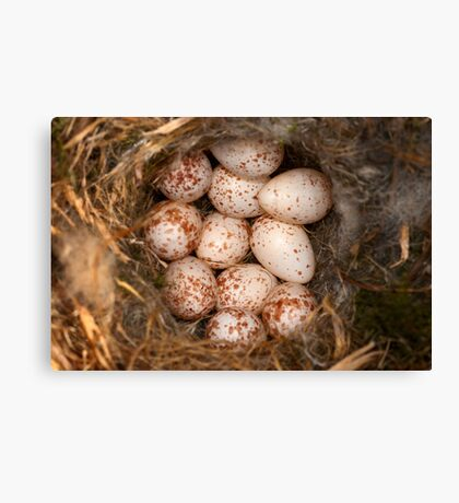 Chickadee Nest! Almost a Dozen Eggs! Canvas Print
