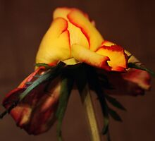 Roze in brown by Antanas