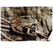 Common Eastern Froglet, Crinia signifera  Poster