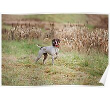 GERMAN SHORT-HAIRED POINTER ON POINT  Poster