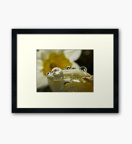 Water Drop Daffodils Framed Print
