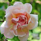 """Beautiful Pink Rose"" by Lynn Bawden"