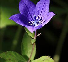Blue Harebell by Teresa Zieba