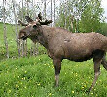 Moose by ibphotos
