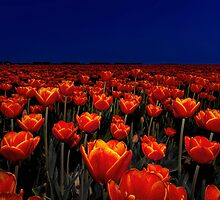 Field of Red Tulips by Henry Jager