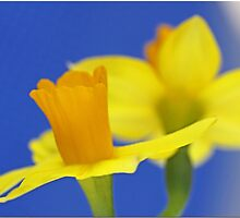 Daffy Dils by Chet  King