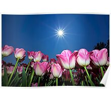 Field of Pink Tulips Poster