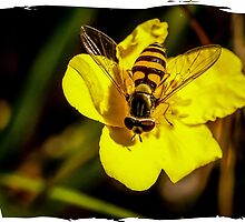 Hover fly on yellow flower by marmur