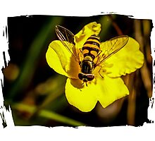 Hover fly on yellow flower Photographic Print