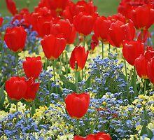 Tulip Mania! by Melanie Surplice